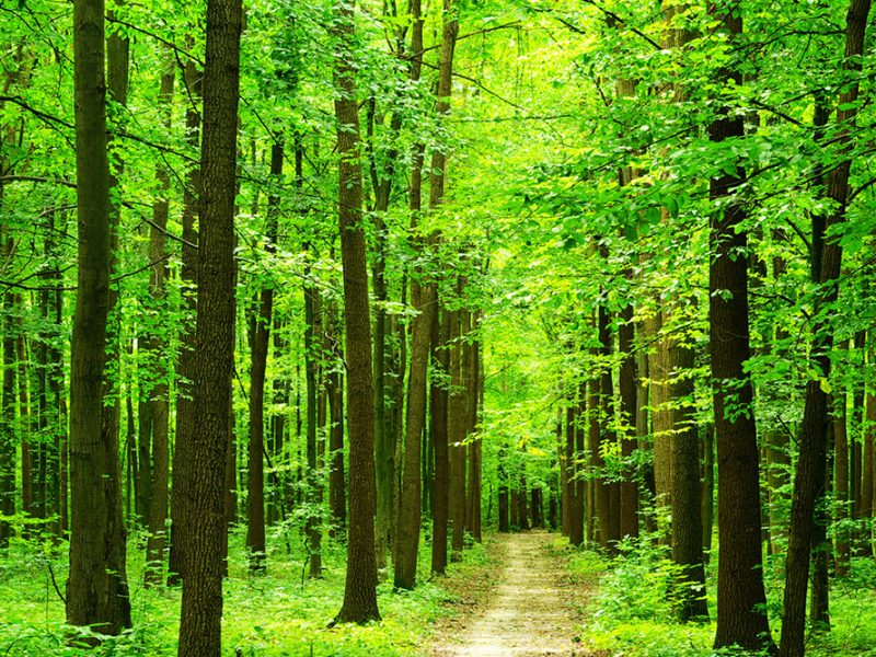A lush green forest of trees with a path down the middle on a bright morning